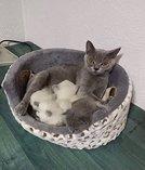 Bkh Kitten colorpoint und blue
