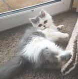 Baby blue & white persian female kitten ready