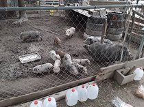 Pigs and piglets for sale whatsapp 27734531381