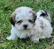 Shihtese puppy for sale