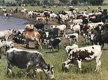 Top quality live sheep, goats and cattle ( steer, cows & calf)