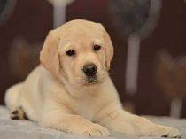 Sweet and fun loving labrador retriever puppiessold