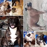 Beautiful staffie puppies for sale