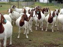 We supply the best quality Boer Goats