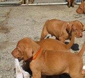 Adorable hungarian vizsla puppies for sale