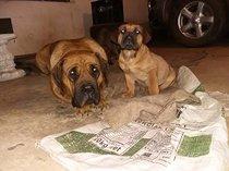 boerboel puppie for sale