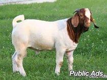 Boer goats and sheep clearance sale