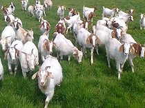 healthy goats for sale
