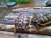 Baby hermann tortoises