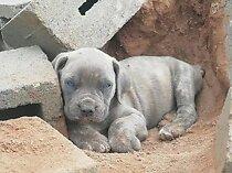 Big boerboel pups available