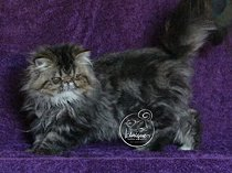 Brown tabby persian girl for sale