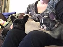 Kusa blue french bulldog puppies available