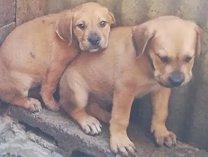 Boerboel puppies vaccinated and dewormerd