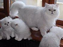 Beautiful chinchilla persian kittens gccf reg