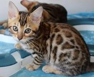 Beautiful bengal kittens looking for their new homes