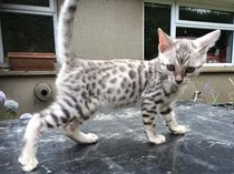Amazing and active bengal kittens, very very friendly.