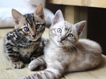 Amazing bengal kittens