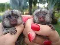 Finger marmoset and capuchin monkeys available