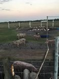 Pigs goats cows chickens for sale