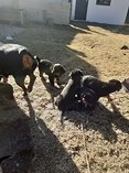 Rottweiler puppies vaccinated deworm