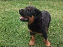 Purebred Rottweiler Puppy for sale