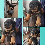 Pure bred roweiler pups
