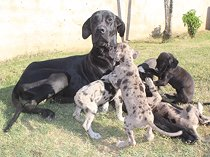 Great weimar puppies for sale