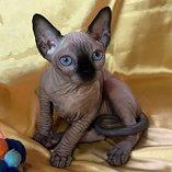 Adorable sphynx kitten for your loving homes