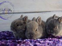 Purebred netherland dwarf rabbits