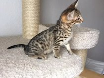 Well socialized f1 and f2 savannah kittens available - for sale