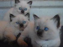 Ragdoll kitten ! Lots of colores ! Kid friendly