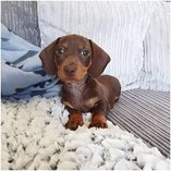 Home raised male and female dachshund puppies for sale