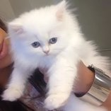 Persian kitty's available