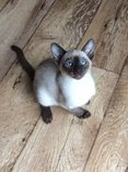 Siamese gccf reg kittens