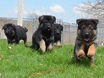 German shepherd pure male puppy