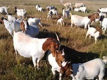 Sheep, goats and lambs for sale