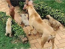 6 x Pure breed Boerboel Pupies for Sale