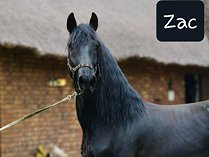 Registered Friesians for sale