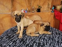 Thoroughbred female boerboel puppies for sale - sorry sold