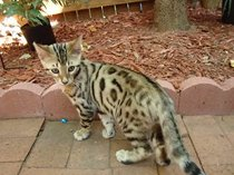 Top class pure bred bengal kittens