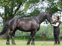 Well trained friesian Horse ( Gelding )