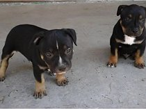 Staffordshire Terrier puppies for sale in Eastern Cape