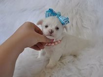 Tea cup Chi hua hua puppies for sale