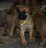 Chunky bullmastiff puppies for sale