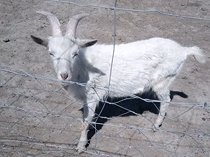 White male goats for sale