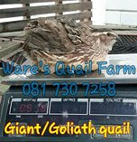 Giant and goliath quail