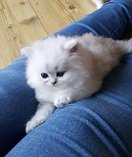 Persian kitten ready now and for christmas